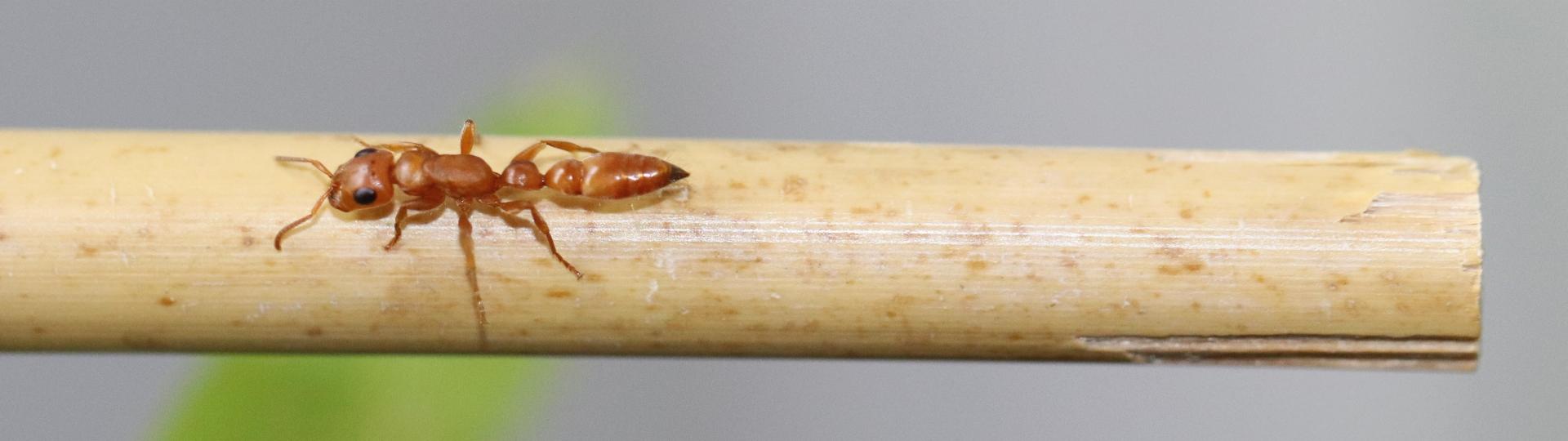 Tetraponera schulthessi 02 Arbeiterin auf Bambus 02