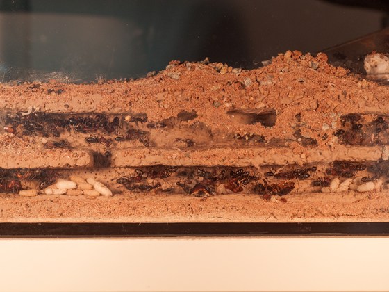 Cataglyphis nodus