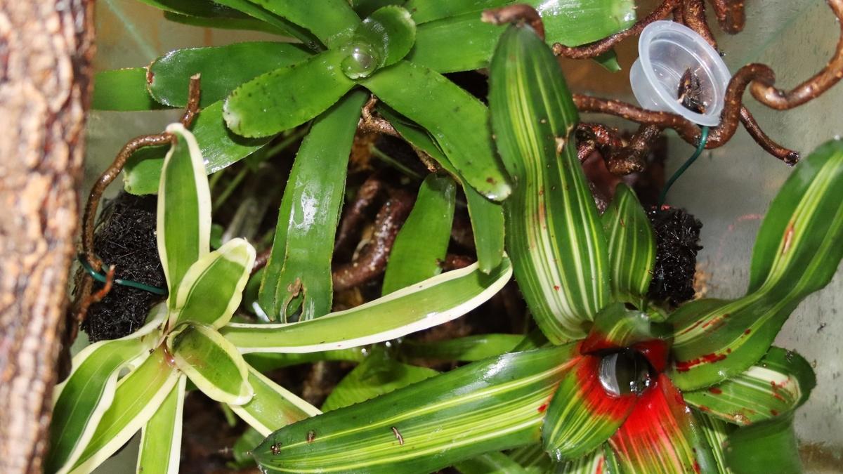 Dolichoderus bispinosus 49 Bromelien 02