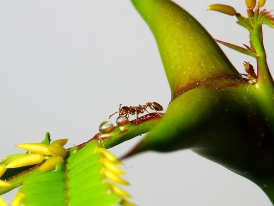 Pseudomyrmex spinicola auf Vachellia (Acacia) collinsii