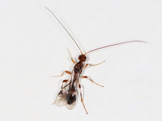 Pseudomyrmex cf. spinicola 02 Männchen 02