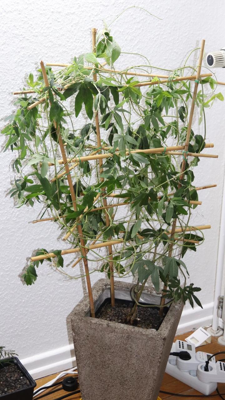 Tetraponera schulthessi 13 Passiflora 01 Kolonie bei Erhalt