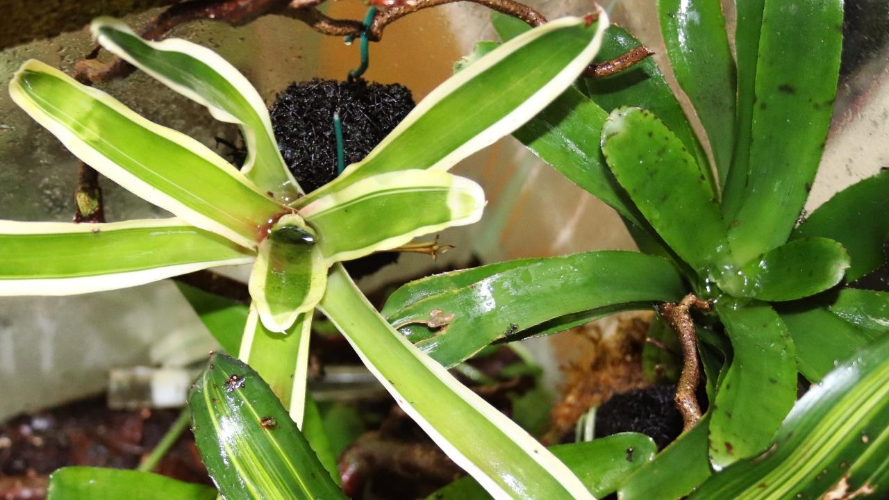 Dolichoderus bispinosus 50 Bromelien 03