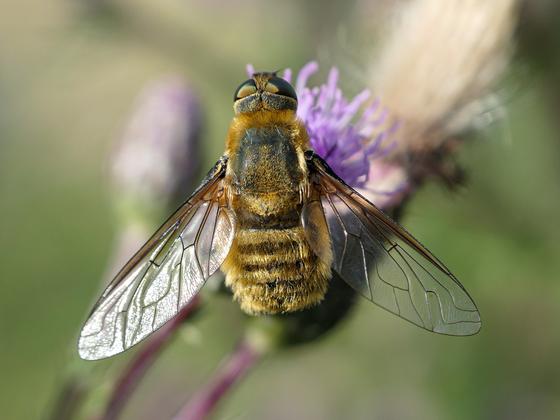 Fliege 2-1