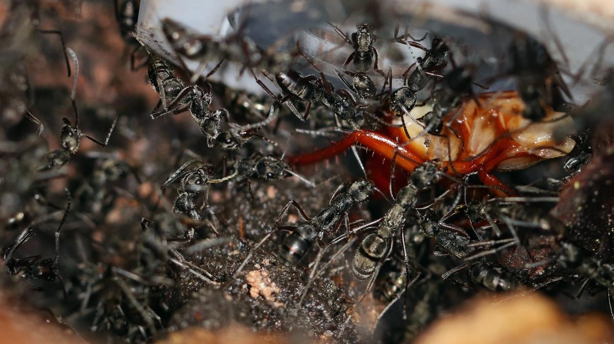 Diacamma cf. rugosum 42 mehrere Arbeiterinnen beim Einbringen von Beute 04
