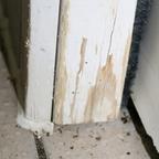 Tetramorium sp. caespitum 02 Eingang im Haus