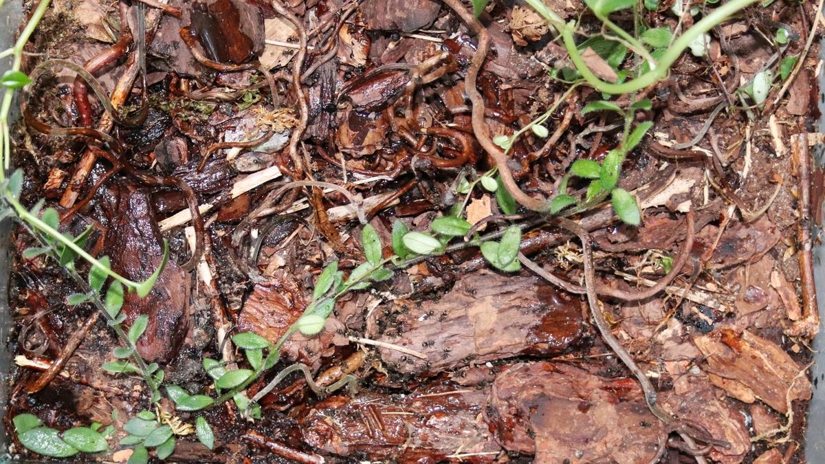 Dolichoderus bispinosus 36 Kolonieaufenthalt im Bodengrund 01