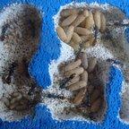 Myrmecia mandibularis Brutentwicklung