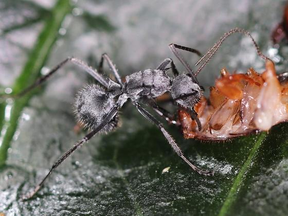 Polyrhachis schistacea 04 Arbeiterin beim Fressen 03