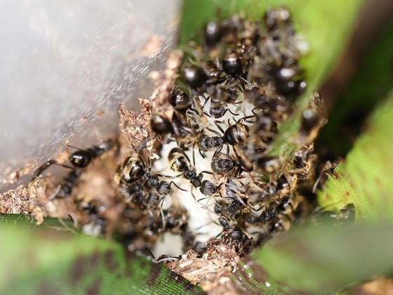 Dolichoderus bispinosus 71 mehrere Arbeiterinnen mit Brut 05