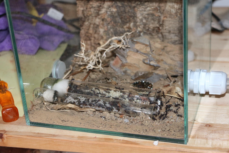 Iridomyrmex purpureus Übersicht