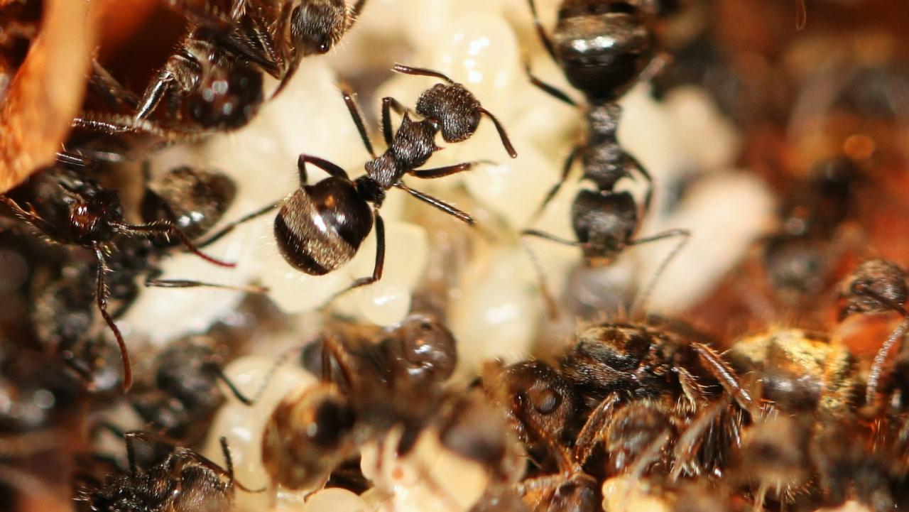 Dolichoderus bispinosus 12 Gyne mit Arbeiterinnent 02
