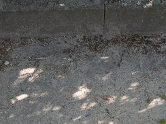 Lasius brunneus 01 Gynenfundort