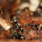 Dolichoderus bispinosus 08 mehrere Arbeiterinnen 01