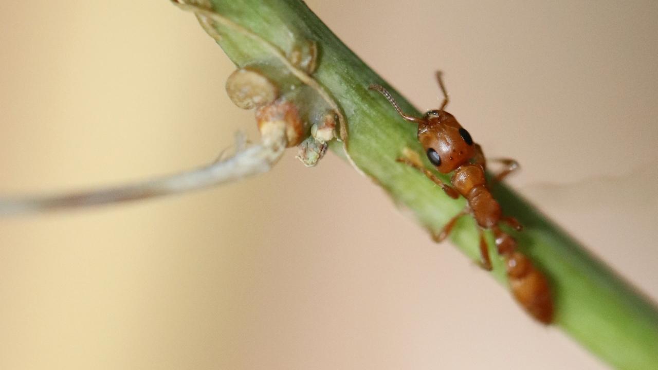 Tetraponera schulthessi 17 Arbeiterin auf Passiflora 01