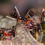 Odontomachus erythrocephalus 27 Arbeiterinnen am Invertzucker 01