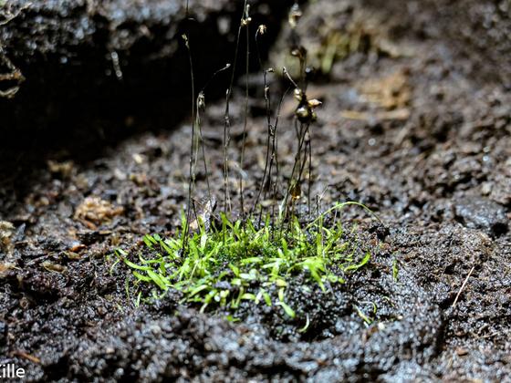 Utricularia bisquamata