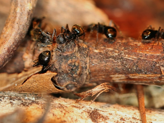 Dolichoderus bispinosus 11 mehrere Arbeiterinnen 04