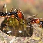 Odontomachus erythrocephalus 28 Arbeiterinnen am Invertzucker 02