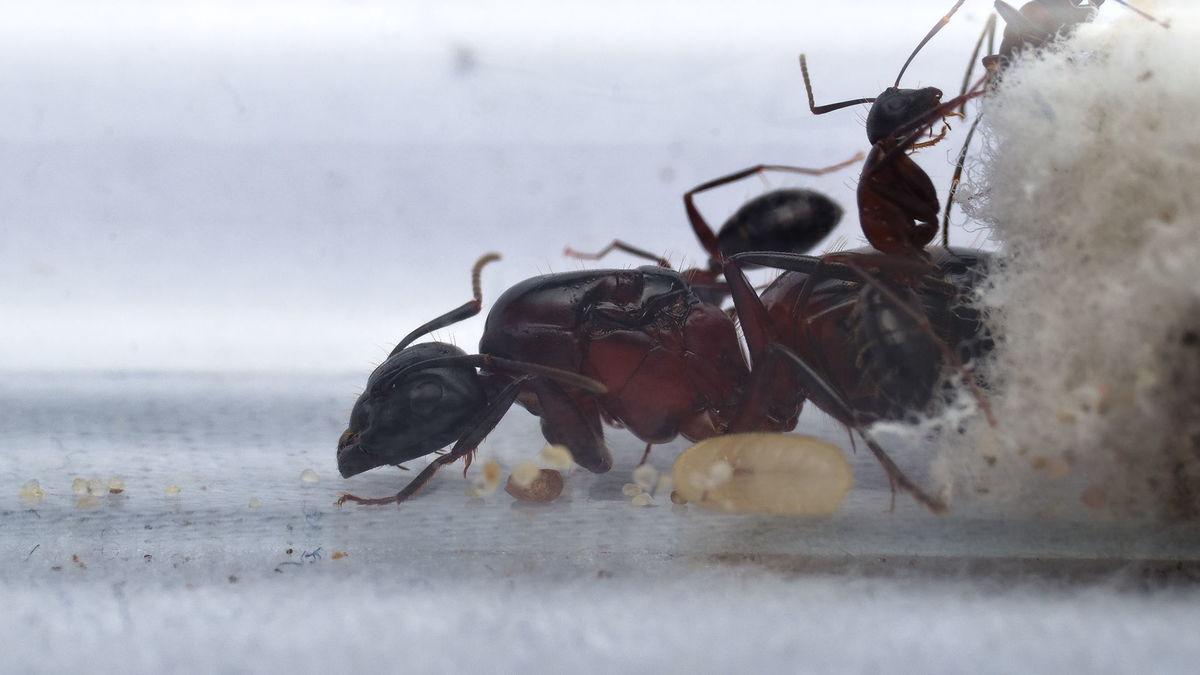 Camponotus ligniperda Kolonie im Reagenzglasnest
