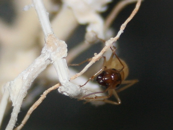Camponotus turkestanus 11 Major Arbeiterin 05