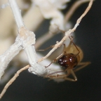 Camponotus turkestanus 11 Major Arbeiterin 05
