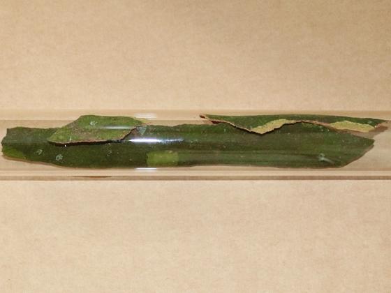 Dolichoderus bispinosus 58 RG Nest neu 01
