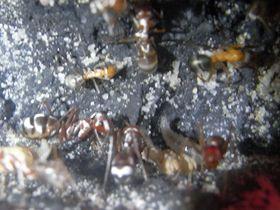 C. bombycinus 2 17.7.19