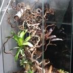 Dolichoderus bispinosus 27 Formicarium 03