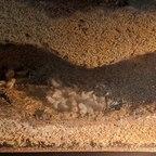 Brutkammer Myrmecia mandibularis