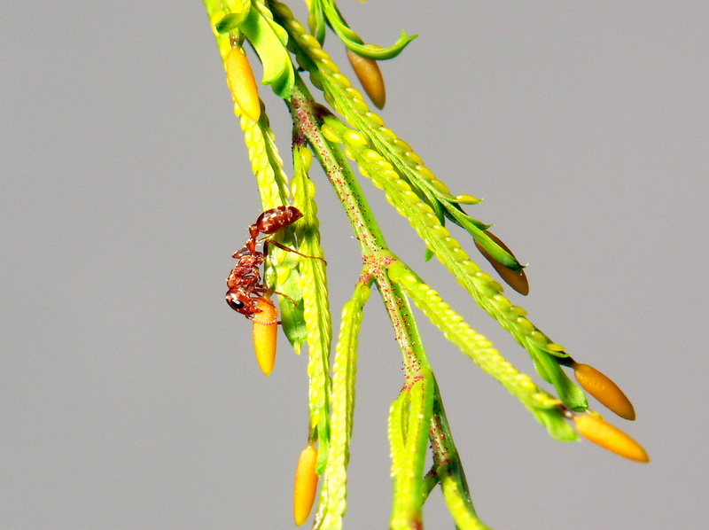 Pseudomyrmex spinicola bei der Ernte