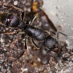 Pseudoneoponera tridentata 01 Arbeiterin 01