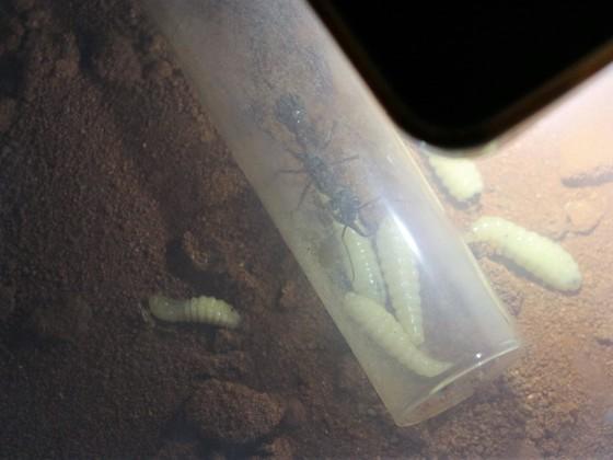 Myrmecia pyriformis Larvenproblematik