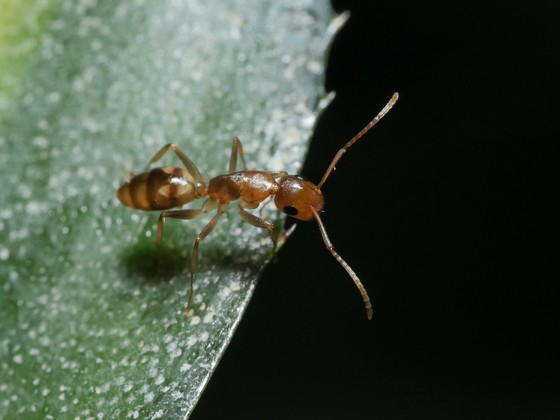 Camponotus sp. Guyane 'Colobopsis' 01 Arbeiterin 01