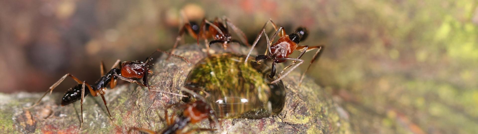 Odontomachus erythrocephalus 29 Arbeiterinnen am Invertzucker 03