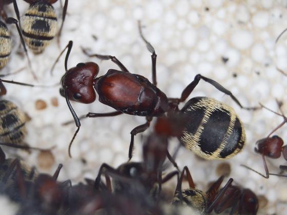 Camponotus detritus Queen