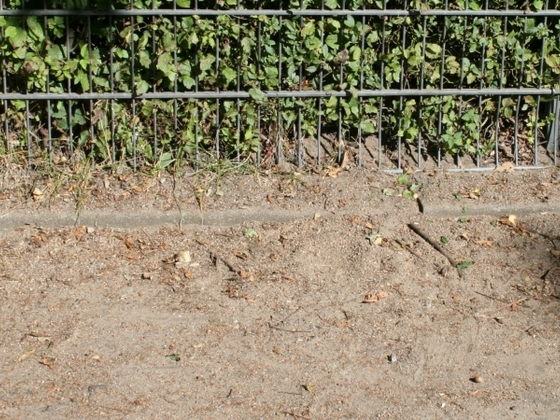 Lasius sp. niger 06 neu entdeckt