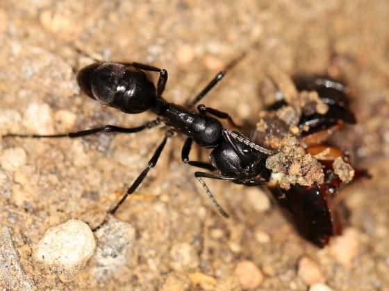 Streblognathus peetersi 19 Arbeiterin beim Fressen 01