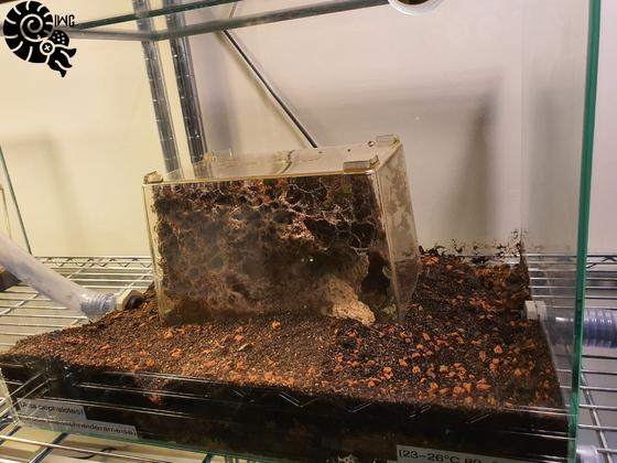 Atta cephalotes Nest [12.01.20]