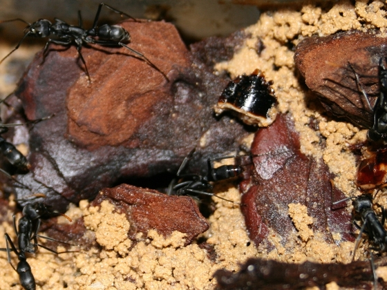 Neoponera apicalis 08 Nest mehrere Arbeiterinnen 01