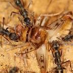 Diacamma cf. rugosum 29 mehrere Arbeiterinnen beim Fressen 01