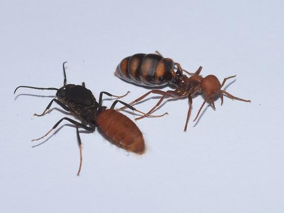 burchellii queen and male