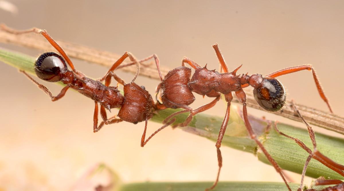 Amoimyrmex striatus