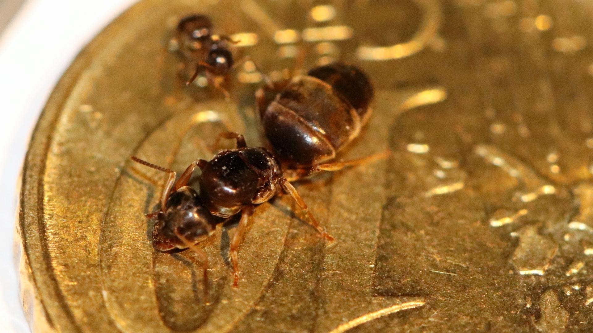 Lasius brunneus 06 Gyne und Arbeiterin 01