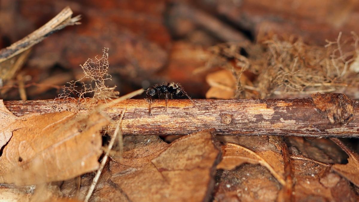 Dolichoderus bispinosus 20 eine Arbeiterin 01