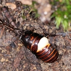 Odontomachus chelifer 01 Arbeiterin mit Schabe 01