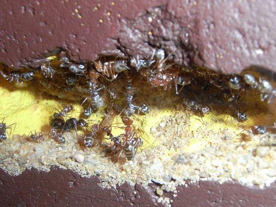 Cataglyphis bombycinus
