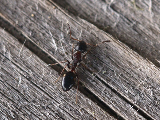Dolichoderus quadripunctatus - Arbeiterin