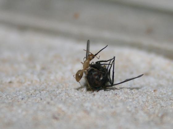 Camponotus turkestanus 01 Arbeiterin beim Fressen 01