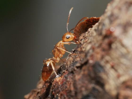 Camponotus sp. Guyane 'Colobopsis' 05 Arbeiterin 05